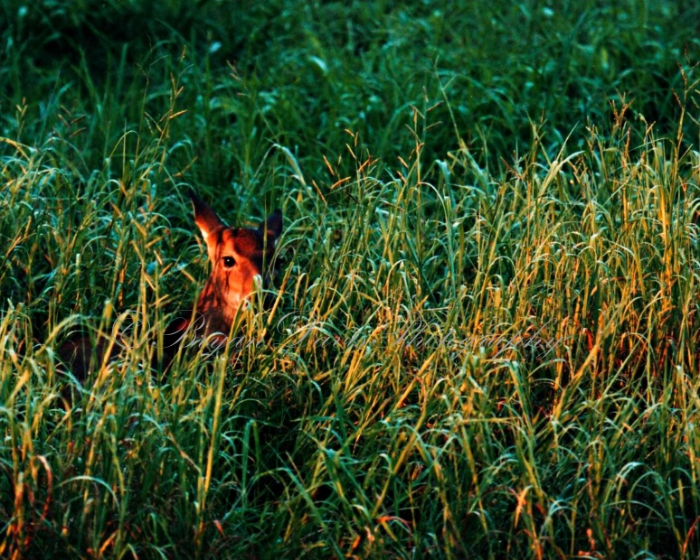 Fawn-in-grass-(1-of-1)web