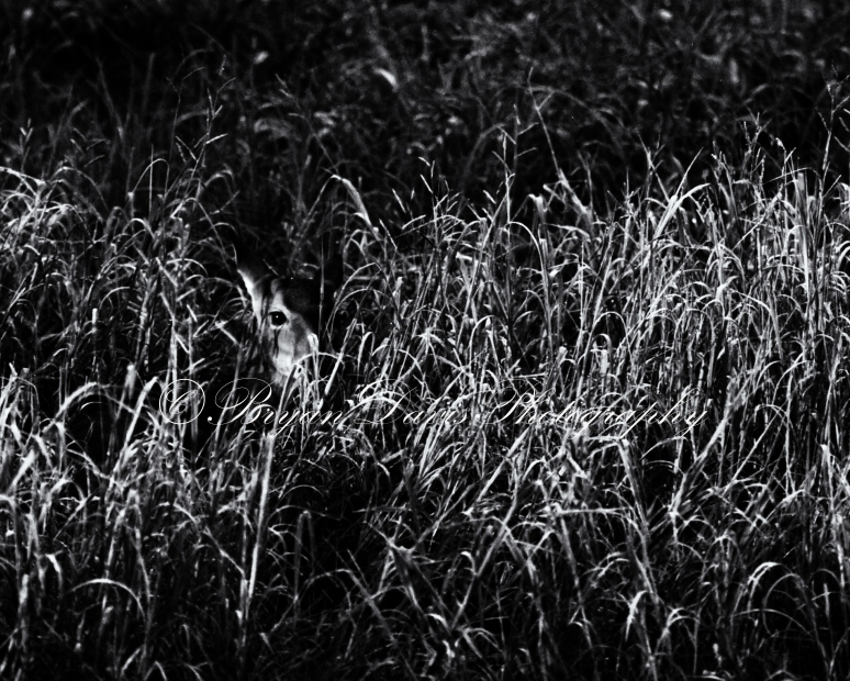 Fawn-in-grass-b&w-web