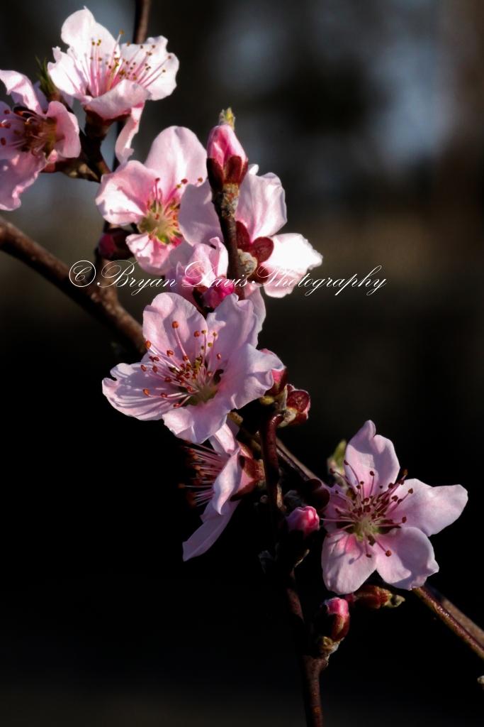 Peach-Blossoms2web