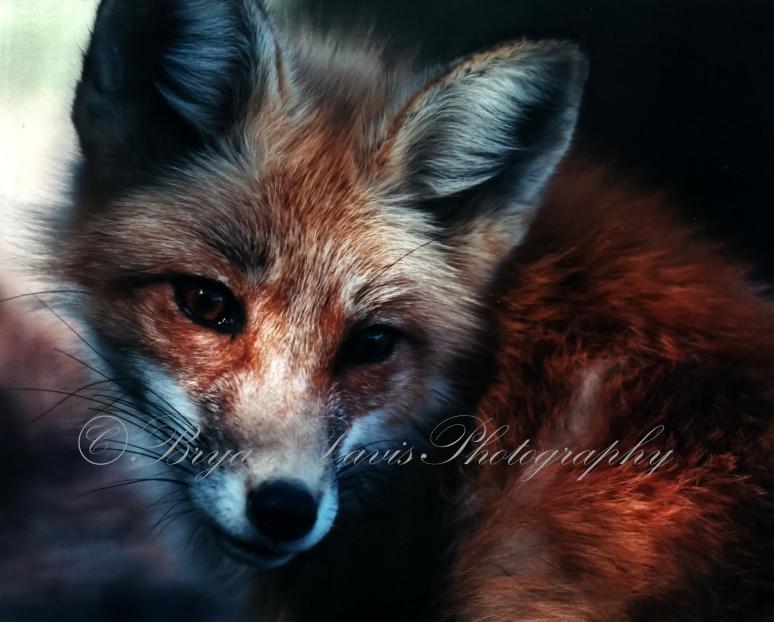 Red-Fox-(1-of-1)web