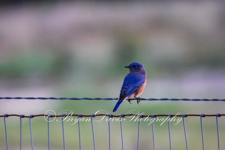 Blue Bird on a Wire web