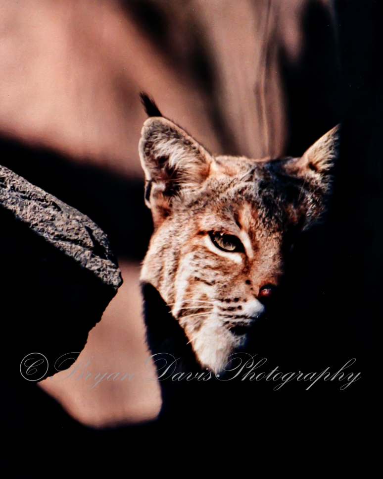 Bobcat in Shadow web