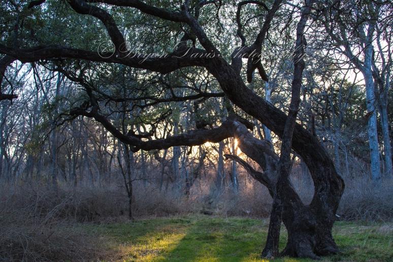 Curved-oak-web