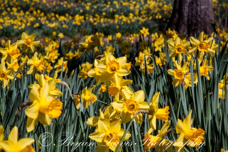 Daffodils-part-two-web