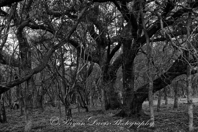 Live-Oak-Forest-web