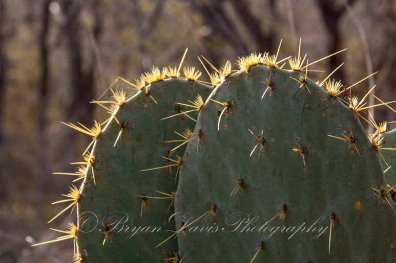 Prickly-Pear-Cactus-web