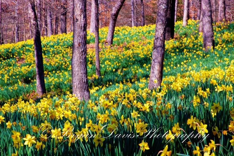 Yellow-Daffodils-web