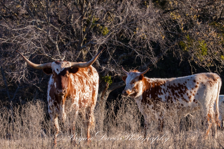 Longhorns-web