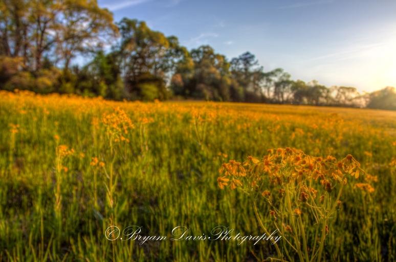 Dandelions-in-Sunlight