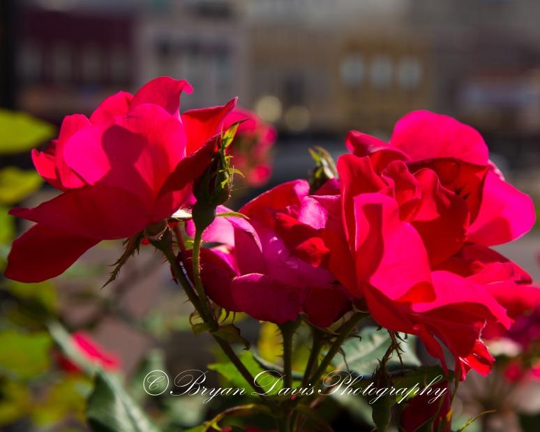Tyler-Roses-web