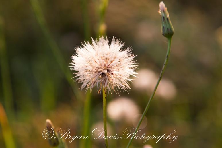 Dandelion-web