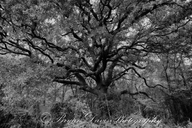 Giant-Oak-2B&W-web
