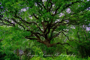Giant-Oak-2HDR-web