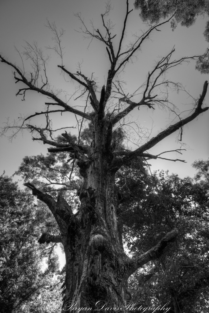 Dead-Tree-B&W-web