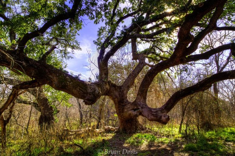 Cool Live Oak