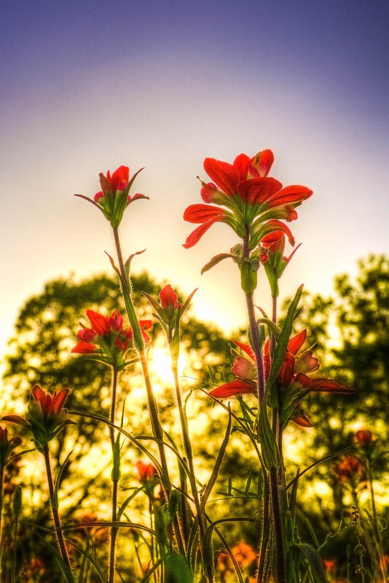 Indian Paintbrush 2015